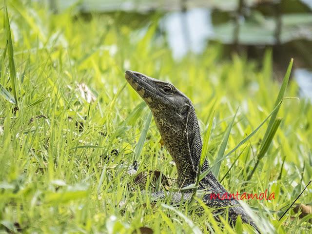 Malayan Water Monitor Lizard