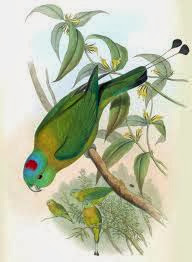 Lorito momoto amarillento: Prioniturus flavicans