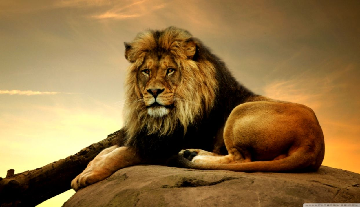 Lion Hd Wide Wallpapers