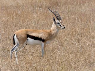 Gazelle Thomson