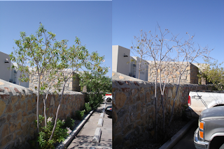 A composite image of a tree. The photo on the left shows a tree in decline and the photo on the right shows the same tree now dead 3 months later.
