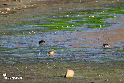 Tres agachadizas comunes (Gallinago gallinago) picotean en la orilla de embalse para aliementarse.