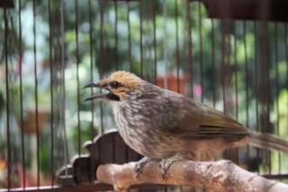Burung Cucak Rowo - Mengetahui Kelas Suara Burung Cucak Rowo Sedang/ Tidak Tebal Dalam Berkicau - Penangkaran Burung Cucak Rowo