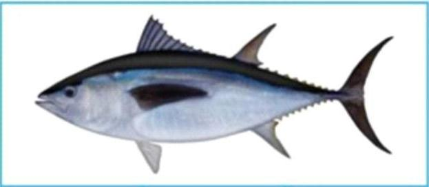 Jenis Jenis Ikan Tuna
