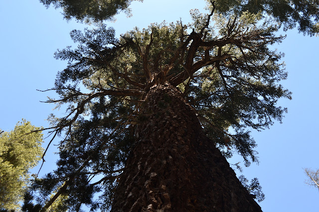 looking up to a high canopy on a big pine