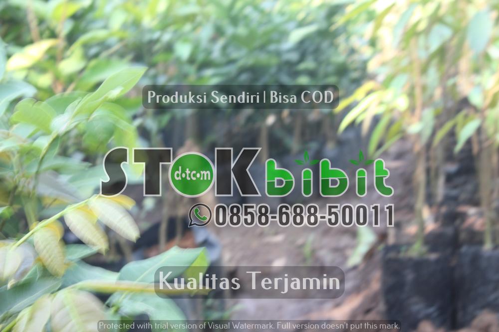 Bibit Durian Merah Banyuwangi Kini Bisa Di Beli Di Purworejo Jawa Tengah      Lengkap     Grosir