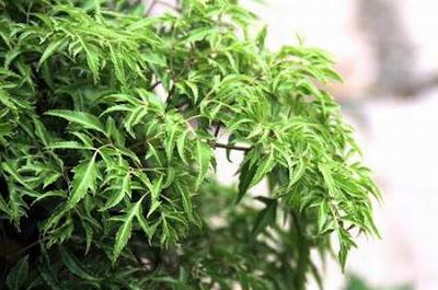 Bài thuốc rẻ tiền chữa mất ngủ từ cây đinh lăng
