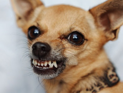 Mali pas koji reži - Panvet Subotica