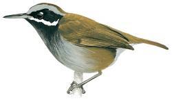 Mystacornis crossleyi
