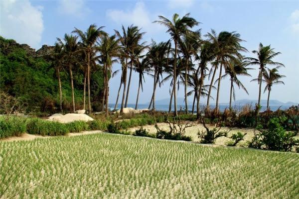 Khung cảnh bạt ngàn ruộng lúa của một góc Lý Sơn.