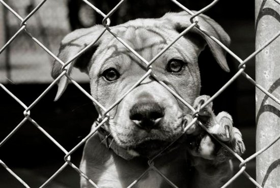 Neglecting an animal by denying it sufficient food, water, shelter and exercise or by keeping him chained/confined for long hours is punishable by a fine or imprisonment of up to 3 months or both. Section 11(1)(h), PCA Act, 1960 lawescort