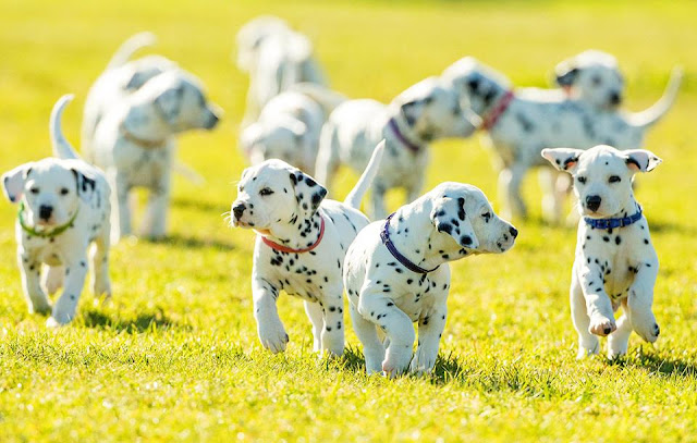 Cuteness overload: record number of dalmatian puppies born in Australia