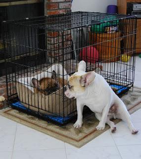 imobilização de cães