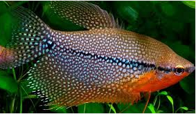 Ikan Hias  Lace Gourami Sepat Hias