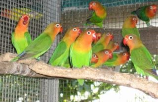 Rahasia Sukses Bisnis Budidaya Burung Love Bird