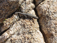 Lizard on Warren Point Trail, Black Rock, Canyon, Joshua Tree National Park