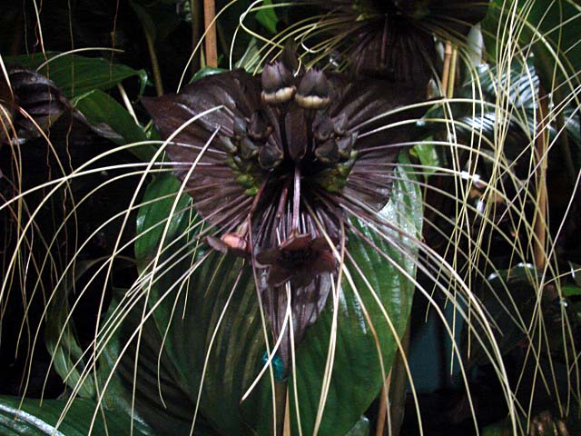 How to grow the bat flower from seed - Tacca chantrieri