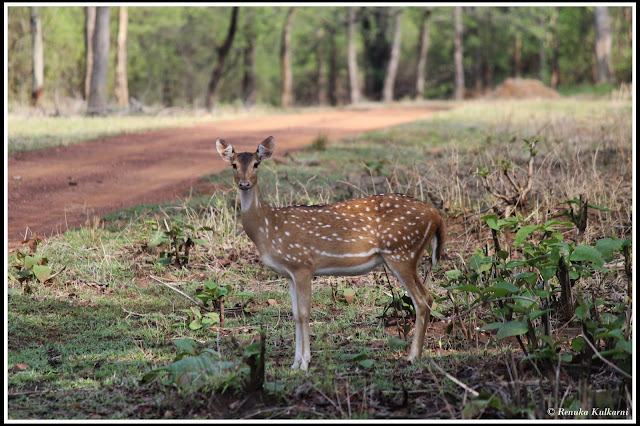 Spotted deer at Tadoba