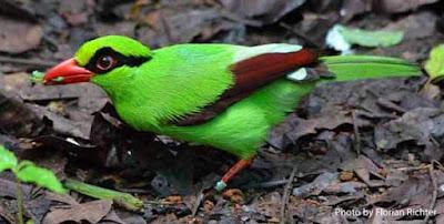 Ekek Keling/Geling Burung Endemik Yang Eksotis