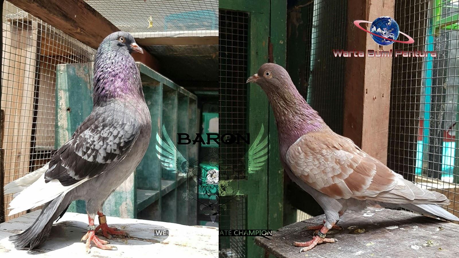 Materi Super Baron Bird Farm Tegal