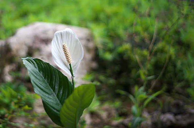 Peace Lily flower and leaves in garden