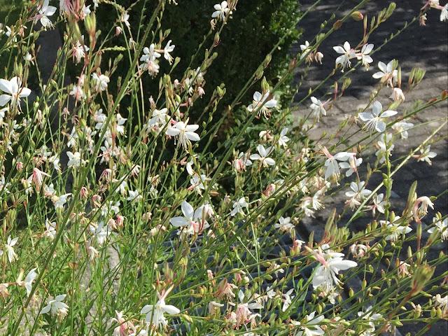 Prachtkerzen blühen