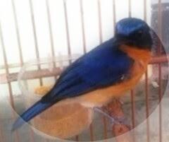 Burung ini sejenis burung anis yang hadir di Indonesia dengan suara yang begitu lembut dan Tips Agar Burung Tledekan Gacor Full