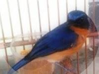 Tips Agar Burung Tledekan Gacor Full
