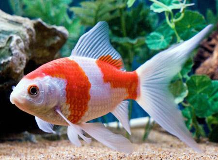 Son tan resistentes como el común y crecen hasta los 40 cm. Se encuentran  en color rojo 26449a68264