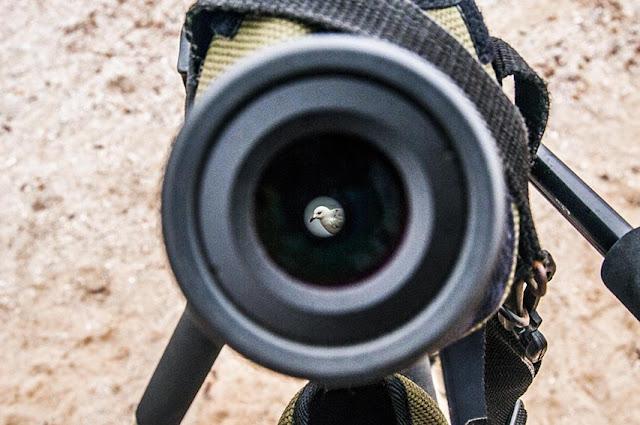 Por el visor vemos a una gaviota de Audouin
