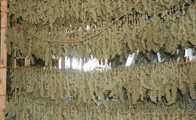 ענפים של פרחי קנאביס תלויים הפוך בשלב הייבוש שלהם