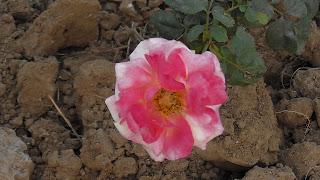 Rose Flower in National Rose Garden Delhi 2087