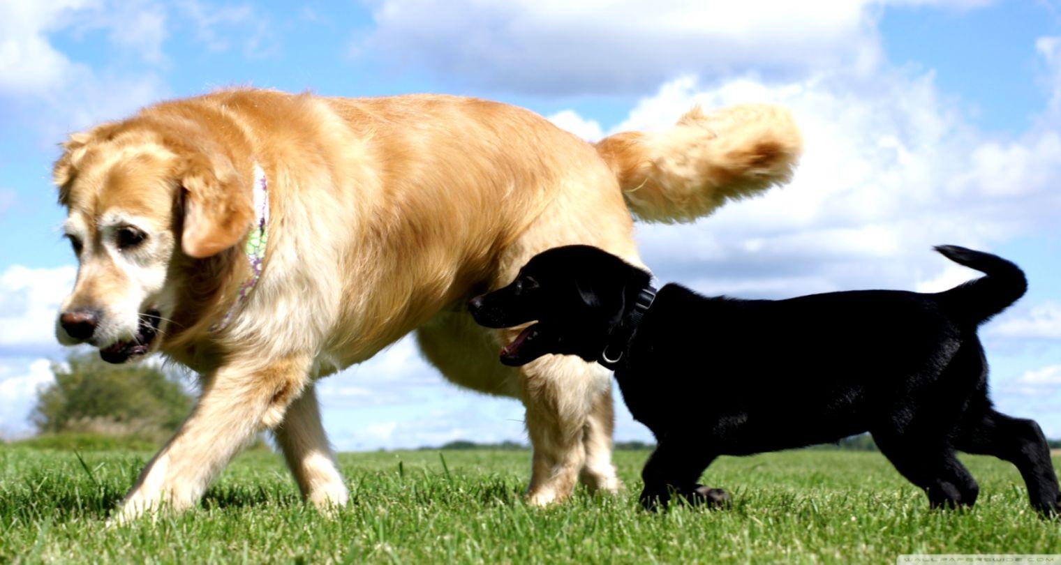 Dog Black Labrador Retriever Look Hd Wallpaper Smart Wallpapers