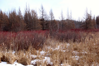 soon the red osier dogwood colors will brighten