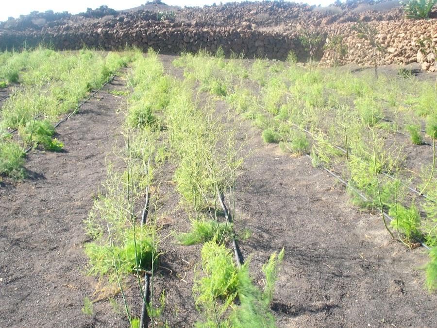 cultivo esparrago