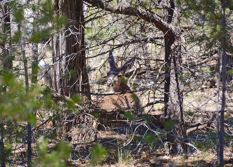 Grand Canyon Wildlife - South Rim | My Darling Days