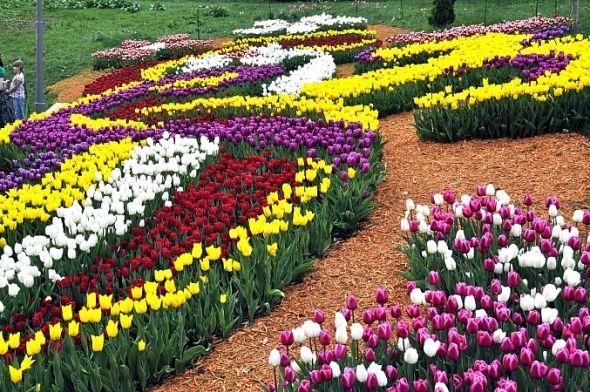 На Співочому полі у Києві розцвіло близько 250 тисяч тюльпанів.