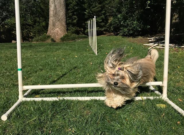 backyard agility jump rocco havanese