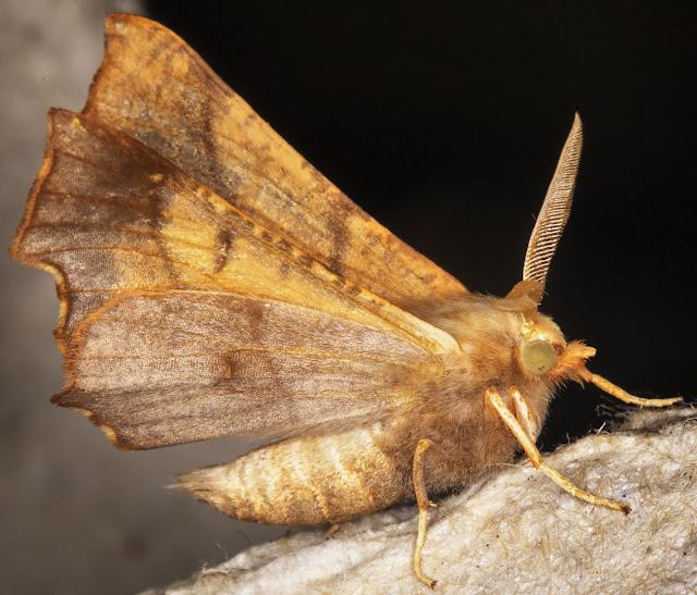 Dusky Thorn, Ennomos fuscantaria.  Hayes, 3 September 2014.