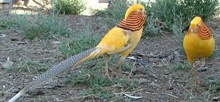 yellow golden pheasants by ty dyqween Foto Yellow Pheasant Terbaru Jual Ayam Hias HP : 08564 77 23 888 | BERKUALITAS DAN TERPERCAYA Foto Yellow Pheasant Terbaru Galeri Foto Yellow Pheasant Terbaru