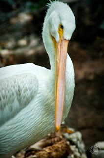 White pelican preening in a natural setting professionally photographed by Cramer Imaging at Tautphaus Park Zoo, Idaho Falls, Bonneville, Idaho