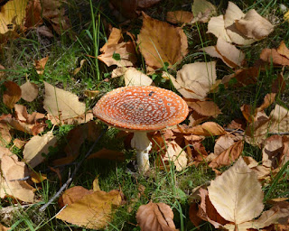 A toadstool with a very flat cap which is an orange-brown with white dots.
