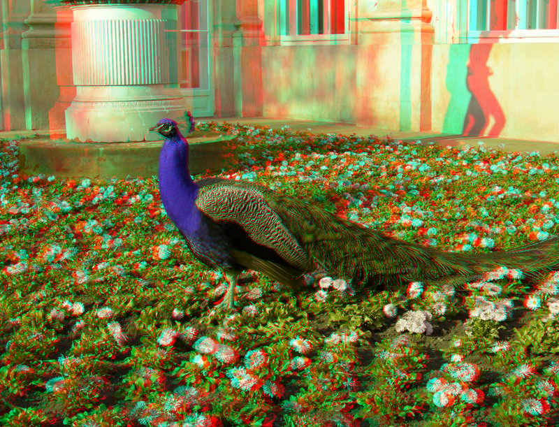 Animated Peacock Wallpapers Red Cyan 3d Glasses At Kolkata Since 2009 Guide