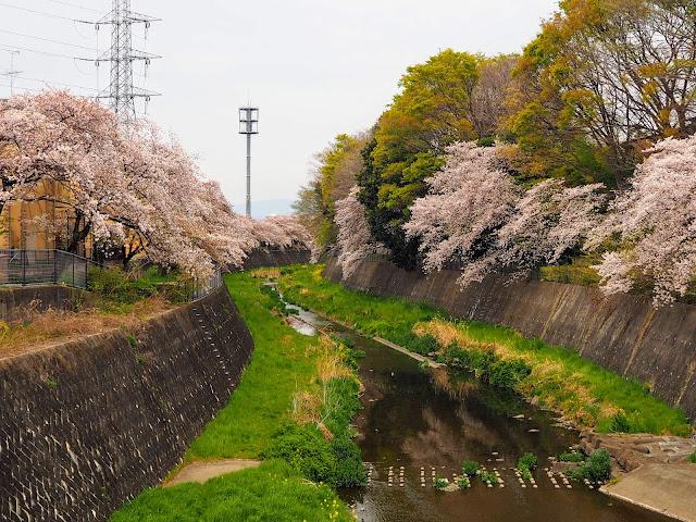 残堀川 桜