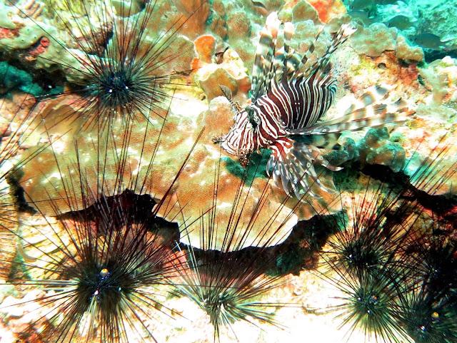 lion fish, sea urchins, malacca straits, koh lipe, thailand, underwater