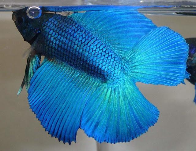 Dunia Ikan Hias - CUPANG DOUBLE TAIL (CAGAK)