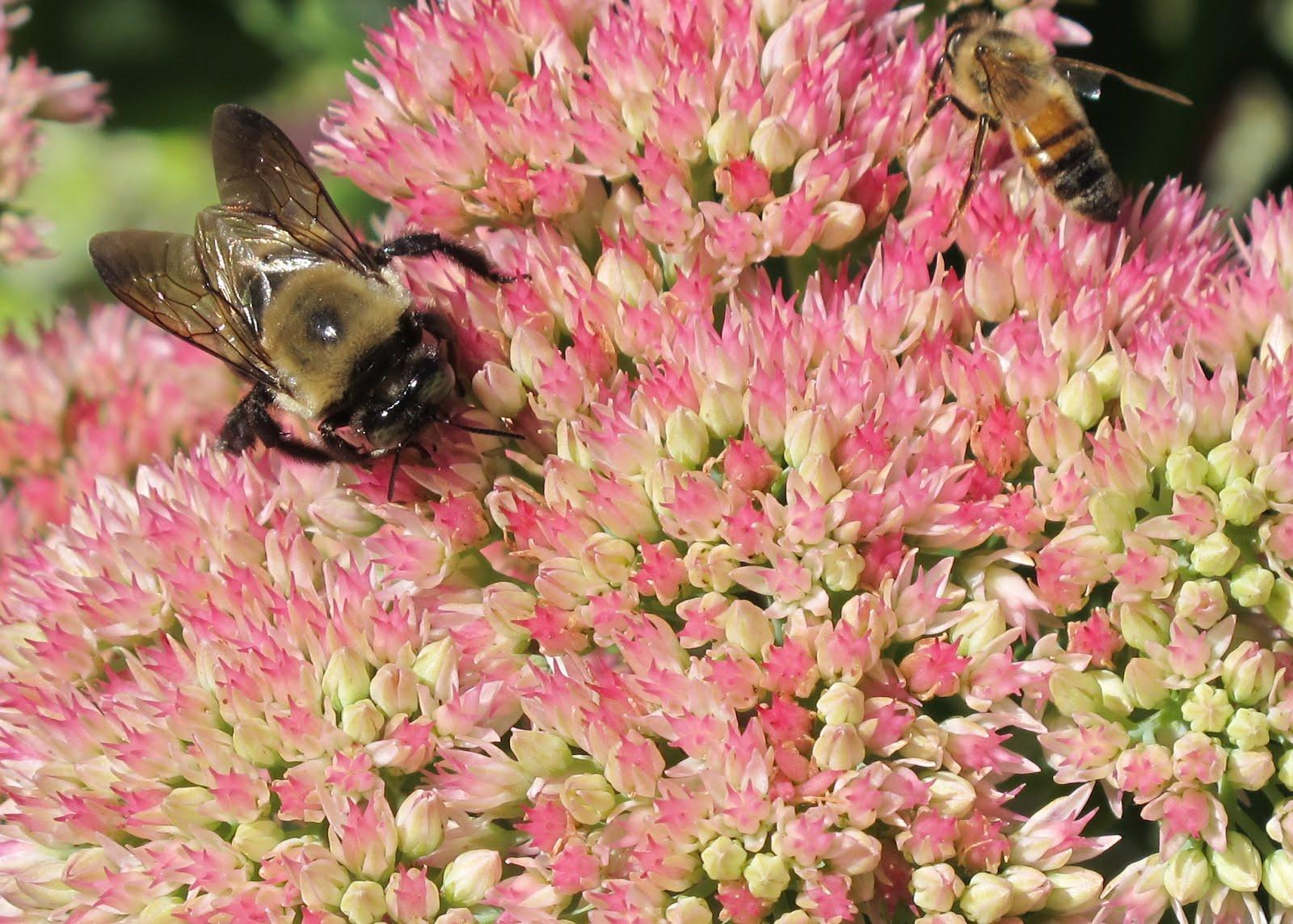 Bees Ebony 50