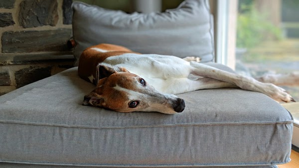 image of Dudley the Greyhound lying on the chaise on his side, looking at me with sleepy eyes