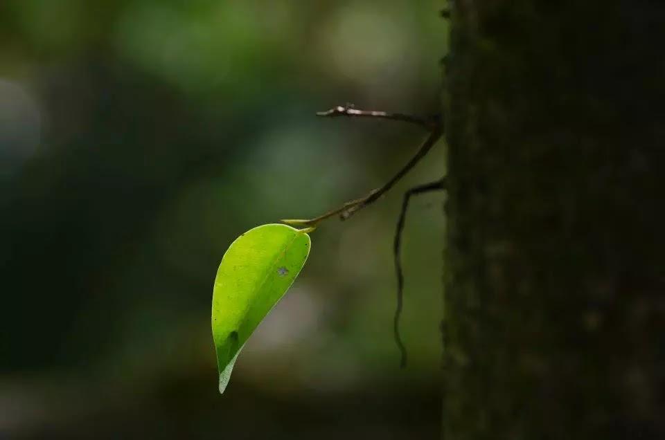 Bokod Benguet Cordillera Administrative Region Philippines Last Leaf