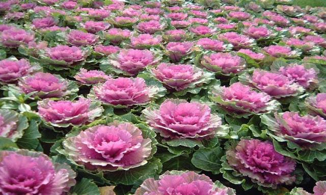 São plantas tolerantes ao frio, inclusive cultivadas em regiões mais ao Sul do país. O local para plantar deve ter sol, mas em regiões de verões muito quentes será conveniente uma sombra à tarde. Seu ciclo de vida é de 45 dias no verão e de 60 dias no inverno.